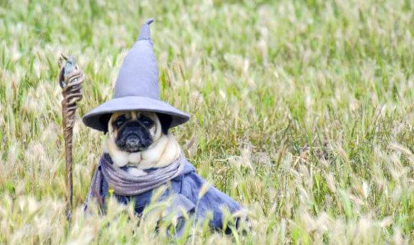 Мопс в одежде ведьмы
