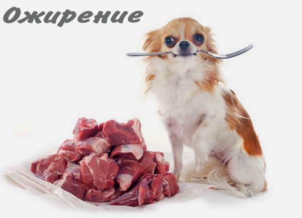 Чихуахуа и мясо