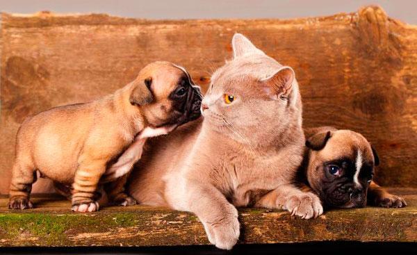 Французских бульдог и кот