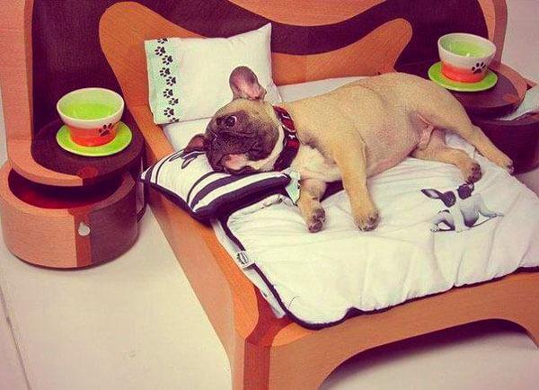Французский бульдог на кровати
