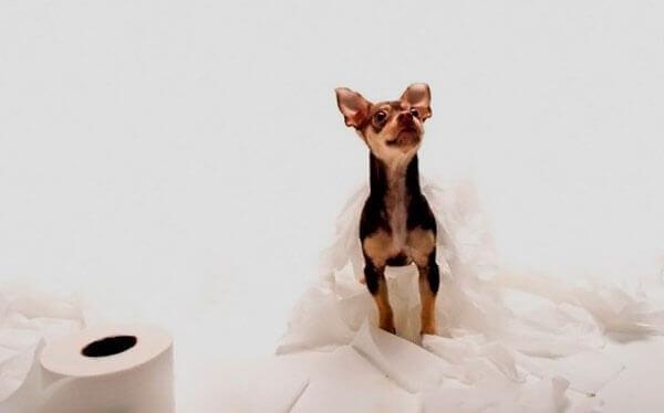 Щенок чихуахуа в туалетной бумаге