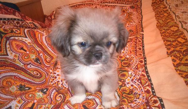 Пекинес щенок на кровати