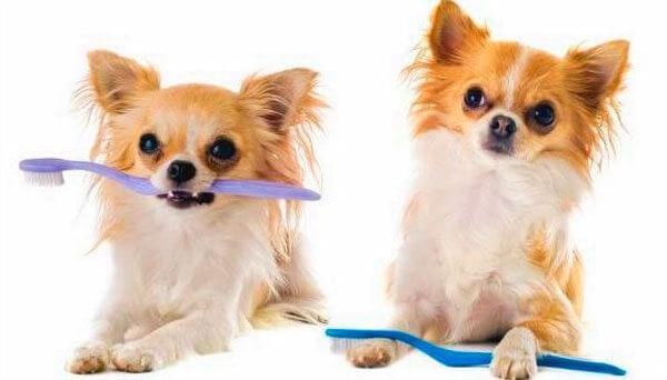 Длинношерстные чихуахуа чистят зубы