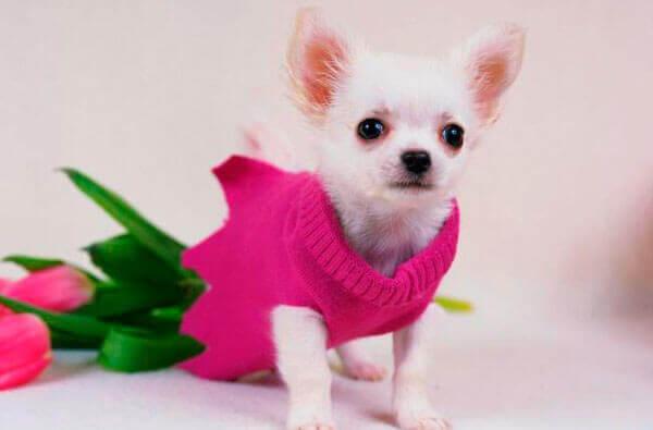 Чихуахуа щенок и цветы