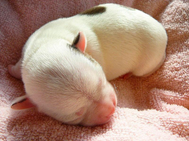 Новорождённый щенок чихуахуа