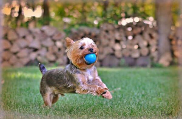 Веселый йорк с мячиком