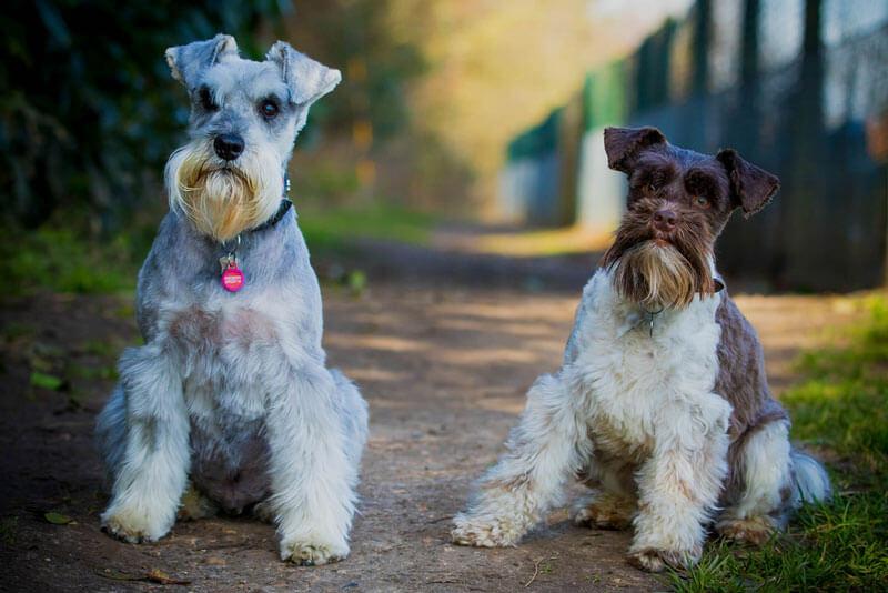 Две собаки карликового шнауцера