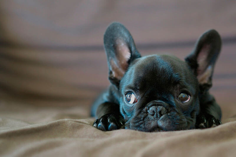 Милый щенок французского бульдога
