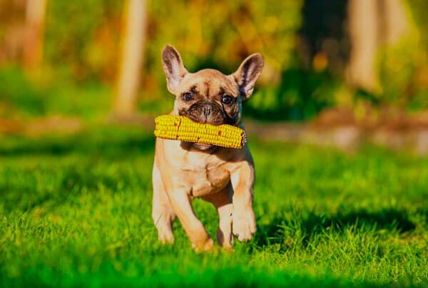 щенок французского бульдога на прогулке