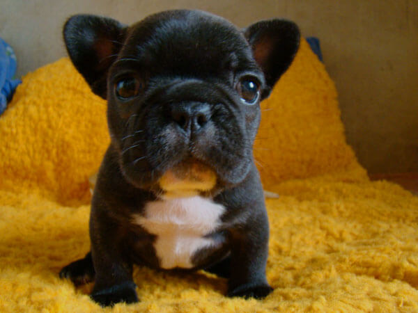 щенок французского бульдога на кровати
