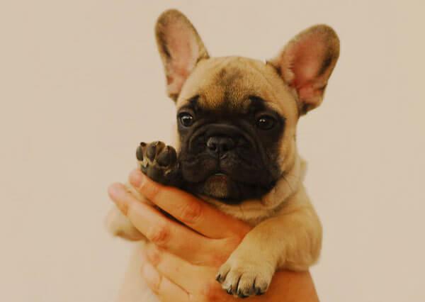 щенок французского бульдога до года