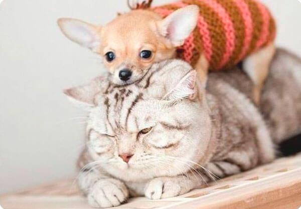 Чихуахуа и кот
