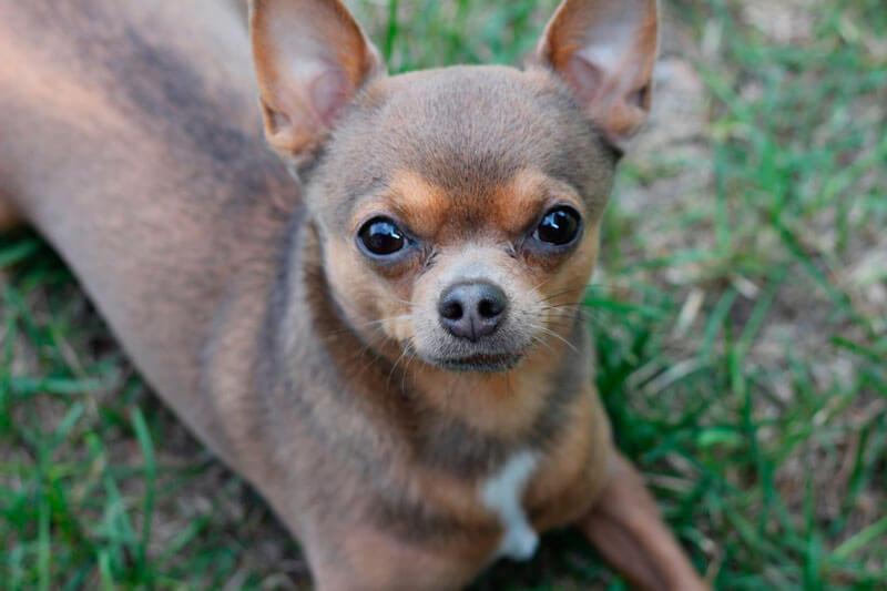 Собака чихуахуа (течичи)