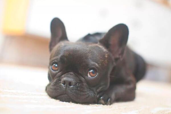 Собака похожая на мопса