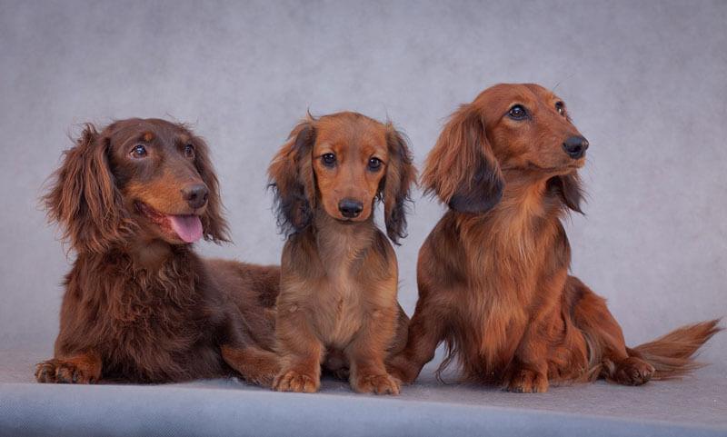 Такса длинношерстная с щенками