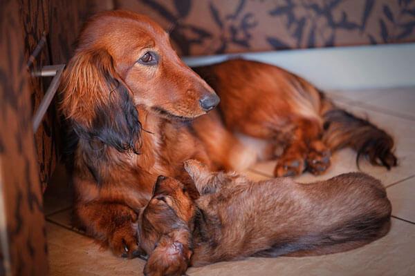 Такса со щенком
