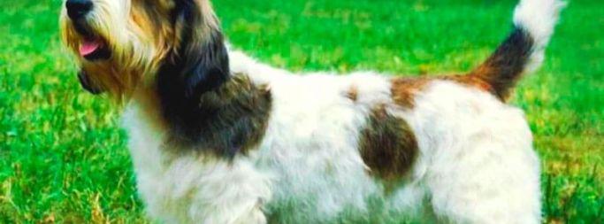 Описание породы вандейского бассет гриффона