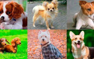 Какие маленькие породы собак подходят для квартиры?