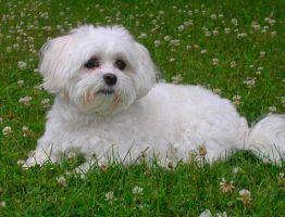 Описание породы собаки болонки