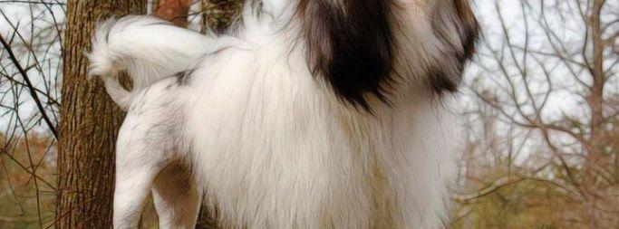 Описание породы лион бишона