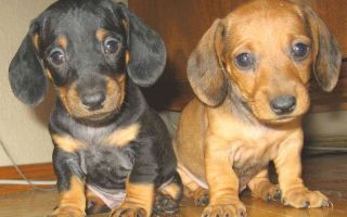 Всё о щенках таксы: от подготовки к вязке до ухода за новорождёнными