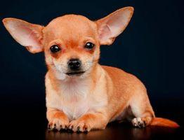 Когда встают уши у щенка чихуахуа? Как их поставить?