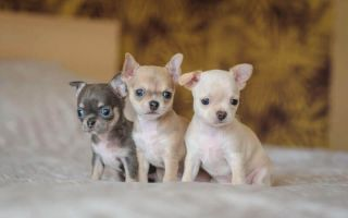 Как выбрать здорового и крепкого щенка чихуахуа?