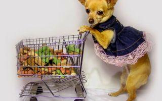 Чем лучше кормить чихуахуа в домашних условиях?
