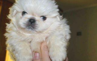 Как назвать щенка пекинеса мальчика?