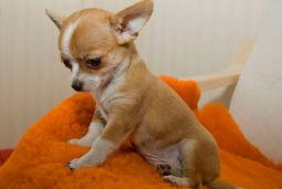 Что делать, если у собаки чихуахуа слезятся глаза?
