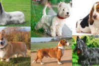 Породы декоративных собак с короткими лапами