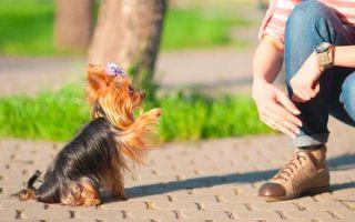 Как дрессировать щенка йоркширского терьера?