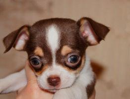 Кормление собаки породы чихуахуа натуральной пищей