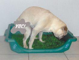 Как приучить щенка мопса к туалету?