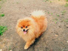 Дрессировка щенка померанского шпица в домашних условиях