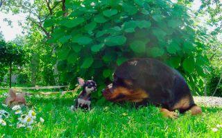 Карликовые породы и чем они отличаются от тоя и малых собак