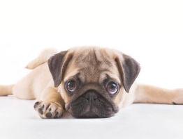 Чем нужно кормить мопса щенка в 2 месяца?