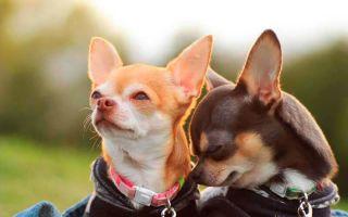 До какого возраста растут собаки чихуахуа?