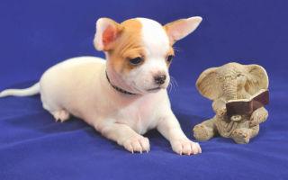 Чем кормить собаку чихуахуа? Составляем рацион