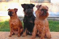 Описание грифона породы собак