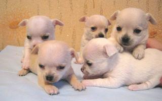 Чем необходимо кормить щенка чихуахуа?