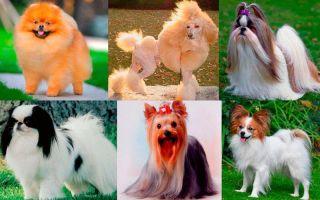Какие есть породы маленьких пушистых собачек?
