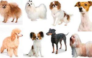 Классификация маленьких пород собак