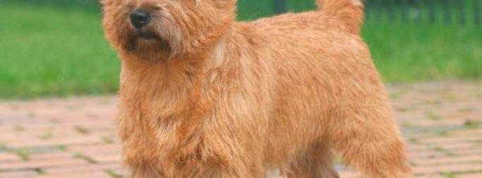 Описание породы шотландского керн терьера